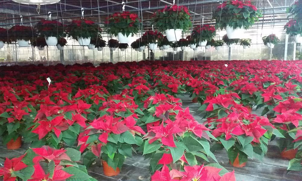 Weihnachtssterne bei Blumen Buba